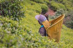850_2516 (stephho2015) Tags: tea ceylon teaplantation srilanka