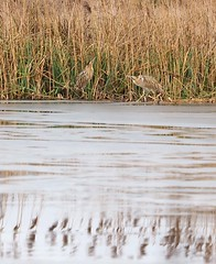Bittern WWT Barn Elms 4/3/2018 (#Dave Roberts#) Tags: wwt barn elms london wildlife birds bittern pair ice reeds lake uk england march 2018 wader skating cold snap chilly face off meeting