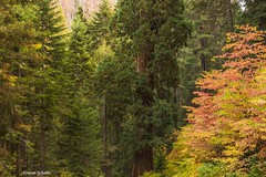 Can't see the forest for the trees (Photosuze) Tags: trees pines forest autumn sequoia nationalpark california nature flora