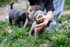 The beginning of life (Lanfeust84) Tags: chien d750 70200mm nikon cutedog baby labrador