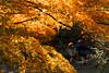 IMG_1462 (Matthew_Li) Tags: red leaf japan maple leaves