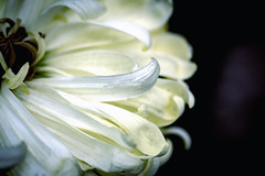 Vivid (><Nessa><) Tags: flora 90mm macro white petals clear low key macroflowers angle tinydetails 7dwf muttartconservatory edmonton everyimagetellsastory cof009dmnq flower cof009ally cof009mkch