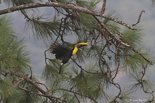 1.09393 Toucan de Swainson / Ramphastos swainsonii / Yellow-throated Toucan