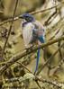 California Scrub-jay (orencobirder) Tags: jays largebirds birds flickrexport