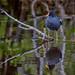 Common moorhen (Gallinula chloropus) and reflection along the Indigo Trail in J. N.