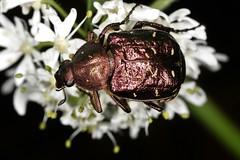 Photographié en Pays de Combrailles (Puy-de-Dôme), un coléoptère cétoniide sur lequel j'aimerais mettre un nom d'espèce. (chug14) Tags: unlimitedphotos animalia arthropoda hexapoda insecta macro insect insecte coleoptera scarabaeoidea cetoniidae