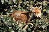 Garden visitor (charliejb) Tags: fox garden 2018 westburyontrym red ginger ears gardenwildlife bristol wild