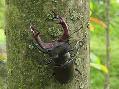 IMG_2207 Nagy szarvasbogár (Lucanus cervus) hím (NagySandor.EU) Tags: lucanidae nagyszarvasbogár lucanuscervus szarvasbogár szarvasbogárfélék törökbálint hungary hím male