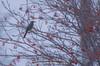 Brown-eared Bulbul (Pokedex!~by Photo team H&A~) Tags: japan hokkaido sapporo 北海道 札幌 野生 動物 wild animal ヒヨドリ wildanimal bird wildbird pentax k5 da300 野鳥 browneared bulbul wood
