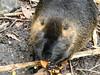 Coypu (Linda DV (away)) Tags: lindadevolder lumix panasonic zooantwerpen zoo cityzoo animalpark fauna nature geotagged geomapped 2018 belgium coypu myocastorcoypus rodentia mammalia ribbet