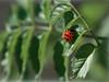 Buona fortuna (jandmpianezzo) Tags: fortuna foglie verde coccinella biglietto augurio outside primavera luce insetti ticino switzerland colori grün giorno rosso puntini natura outdoor