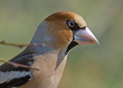 Frosone il ''tenaglione'' (rubacolor) Tags: coccothraustes frosone becco olive birds natura