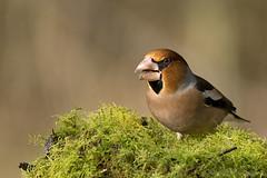Kernbeißer (Coccothraustes coccothraustes) (appeldorn99) Tags: barleben sachsenanhalt deutschland deu wildlife vögel finken singvogel kernbeiser