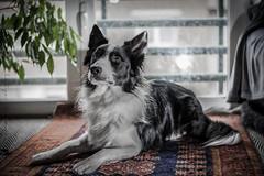 DSC_1161 (Luisa G.C.) Tags: bord border collie 50mm nikkor mirada retrato perro dog cute suave animal adoptado feliz grouptripod