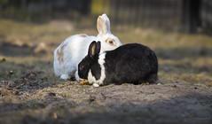 Rabbits (Paula Darwinkel) Tags: rabbit rabbits bunnies animals wildlife nature farm pet sunny