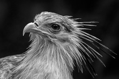 Le serpentaire (pogona) Tags: 7d canon7d canon 100400mm oiseau bird black blanc blackandwhite white noir noiretblanc serpentaire bec amnéville expo expo2015 tdb thierrydebleye pogona zoo parcanimalier