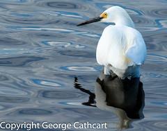 Wading in (fins'n'feathers) Tags: florida merrittislandnwr wildliferefuge animals birds coast wildlife snowyegret egret wadingbird whitebird