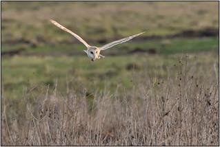 Barn Owl (image 3 of 3)