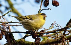 Siskin - Taken at Sywell Country Park, Sywell, Northamptonshire. UK (Ian J Hicks) Tags: