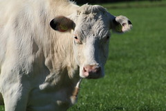 Peaceful White (excellentzebu1050) Tags: livestock dairycows cattle closeup cow animalportraits animal farm field outdoor coth5 sunrays5