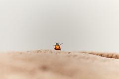 (DeBonito) Tags: canon 700d t5i joaninha macro inseto bug ladybug
