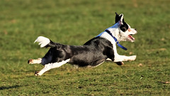 I believe I can fly.... (stellagrimsdale) Tags: dog running park joyful flying green grass animal field pet