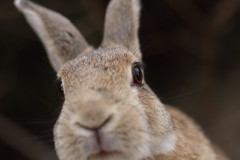 20180106_IMG_6439 (NAMARA EXPRESS) Tags: animal rabbit eye face okuno island cloudy daytime winter outdoor color okunoisland kasahara hiroshima japan canon eos 7d sigma 50mm f14 dg hsm art namaraexp