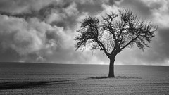 Lonely Tree (a.penny) Tags: lonely tree idsteiner land hessen germany nikon d7100 apenny monochrome monochromegroupf64