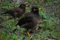 Are you looking at me? (Abeer!) Tags: myna commonmyna bengal botanicalgarden birds howrah westbengal india abeer abeerbarman green