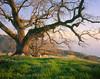 Coastal Oak (AlexBurke) Tags: california landscape 4x5 film kodak ektar oak tree coast sunset