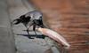 Cornacchia Grigia // Corvus Cornix (Christian Papagni | Photography) Tags: laghetto dei cigni milano due 2 cornacchia grigia corvus cornix canon eos 5d mark iv ef100400mm f4556l is ii usm