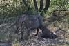 IMGP2449 -1 (Laste Photography) Tags: south safari southafrica afriquedusud afrique girafe elephant bufalo