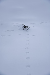 Springvibes, the Viking Way, shows the top of a spruce (evakongshavn) Tags: spruce white snow winter snowfall tracks animaltracks minimalist minimalisme abstract