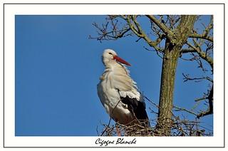 Cigogne  blanche  Picardie France