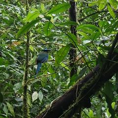 Azul en lo verde (ben.bourdon) Tags: peñas blancas nicaragua matagalpa américa central reserva natural naturaleza arboles verde bosque húmedo pájaro animal salvaje guardabarranco azul