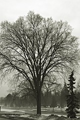 Foggy Tree and Evergreen (rcss2800) Tags: tree trees landscape winter fog blackandwhite monochrome photography streetphotography photographyasiseeitt nature cemetary cemetery