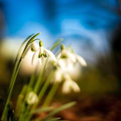 Snowdrop (Benny aka WortLichtMaler) Tags: sonysigmaart35mm1 4wideopendepthoffieldbokehblursunsetlightbeautifulflowerwhitegreenblue close up tiny blume schneeglöckchen snowdrop klein fein 7dwf 7 days with flickr macro makro nahaufnahme sony sigma art 35mm flower flowers color colored