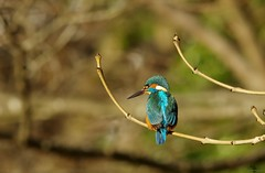 endcliffe park kingfisher sheffield 2018 (10) (Simon Dell Photography) Tags: endcliffe park bingham whitley woods forge dam kingfisher bird rare blue orange winter spring grey animal nature together wildlife sheffield botanical gardens simon dell photography 2018 feb 24 sunny detail high res perched sitting fishing
