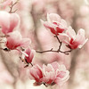 Magnolia blossoms. (jeanne.marie.) Tags: magnolia pink blossoms floweringtrees flowers squareformat spring 100xthe2018edition 100x2018 image29100