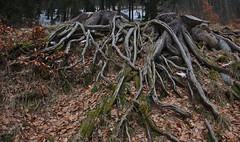 Stump or octopus (Karel Suchánek) Tags: winter snow frost kynžvart stump tree lumix lx100
