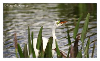 Great White Egret ( Ardea alba) GREG -