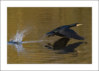 Cormorant Flight