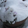 cyclamen under a blanket (Wendy:) Tags: flowerpot snow cyclamen