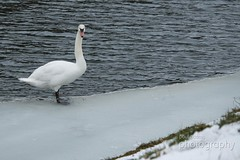 IMG_3483 (PaulAdams_Photos) Tags: snow ice canal canalbasin narrowboats boats boat barge barges water frozen snowing bike bicycle bench winter hat robin robinredbreast tree trees bramble bush buds photographer photo photographers sit sitting loch lock camera cameras canon70d sony nikon lens primelens telephotolens bird swan lake wings feathers feather beak bill fly seagull seagulls gull gulls buoy buoys float floats rope wet slippery abandoned hut reeds ducks feed cold branches branch perch perches perched sing birdsong