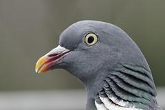 Pigeon_A653975_DxO (jackez2010) Tags: ilce6500 fe100400mmf4556gmoss pigeonramier