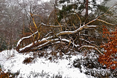 Winter Woods (Geoff Henson) Tags: tree leaves bark snow mist grass foliage colours winter thaw