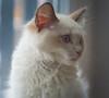 Charlie (absynth100) Tags: cat kitten fur hair eyes ears soft focus fluffy ragdoll pet