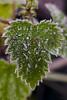 Frio (f@gra) Tags: frio cold invierno winter ice hoja planta wild forest bosque sony galicia pontevedra spain