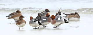 Mr Wigeon on Ice