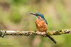 Kingfisher (Alcedo atthis) 750_0844.jpg (Mobile Lynn) Tags: birds kingfisher nature wild aves bird chordata coraciiformes fauna wildlife otterbourne england unitedkingdom gb coth specanimal coth5 ngc npc